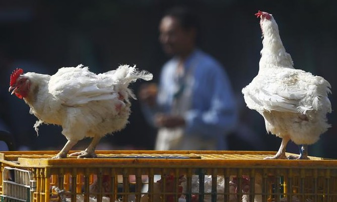 A man walks past live chickens on the outskirts of Cairo